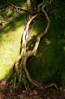 MOSS ROOTS